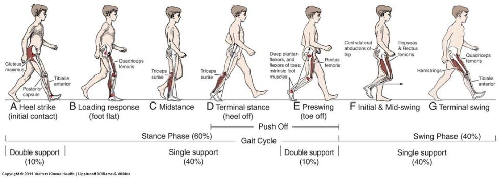 Gait-Cycle