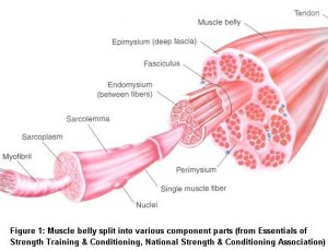 muscle_anatomy (1)